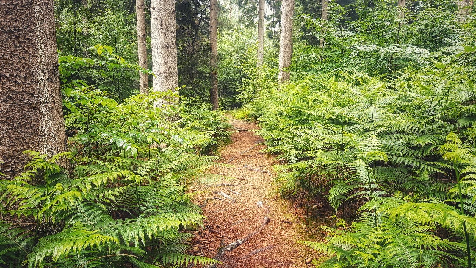 Mystisch wirkend Waldpfad auf dem Hünenweg