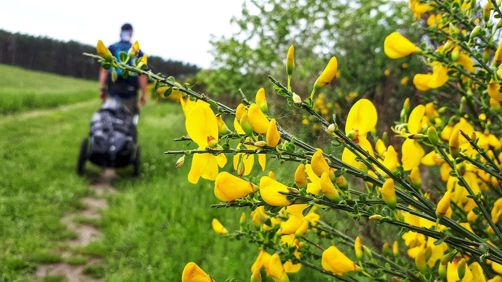 Blühender Ginster vor Wanderer mit Pilgerwagen